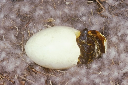 Stock Photo: 4179-3025 Canada Goose Egg hatching