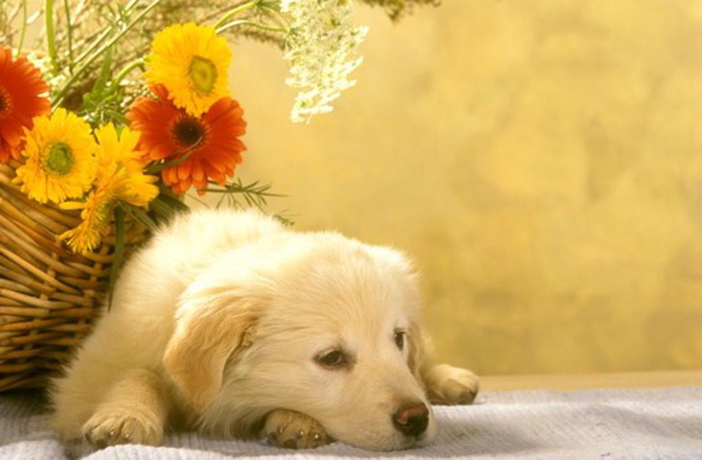 Golden Retriever Puppy looking sad : Stock Photo