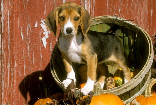 Stock Photo: 4179-30413 Beagle Puppy