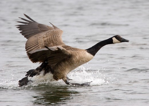 Stock Photo: 4179-3052 Canadian Goose (Branta canadensis) landing in water, Jamaica Bay Wildlife Refuge, NY