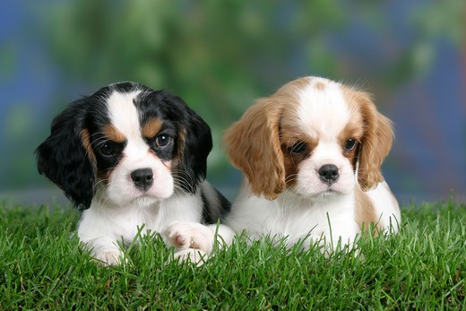 Cavalier King Charles Spaniel, puppies, 8 weeks, Blenheim and tricolour : Stock Photo