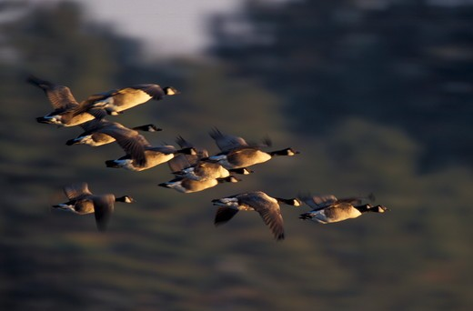 Stock Photo: 4179-3068 Durham, NH. Canada Geese, Branta canadensis, flying at Great Bay. Adams Point Wildlife Management Area. New Hampshire