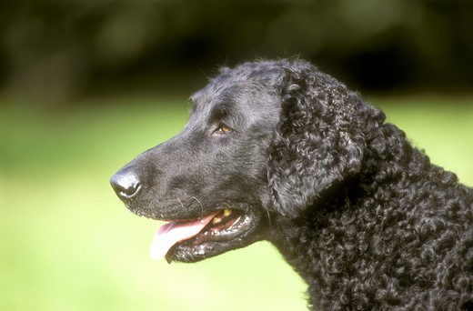 Curly Coated Retriever : Stock Photo