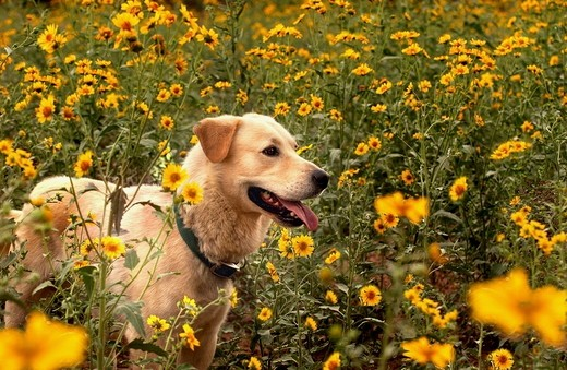 A Yellow Labrador mix stands on a rock with yellow wild flowers behind. Flagstaff, Arizona. 2007 : Stock Photo
