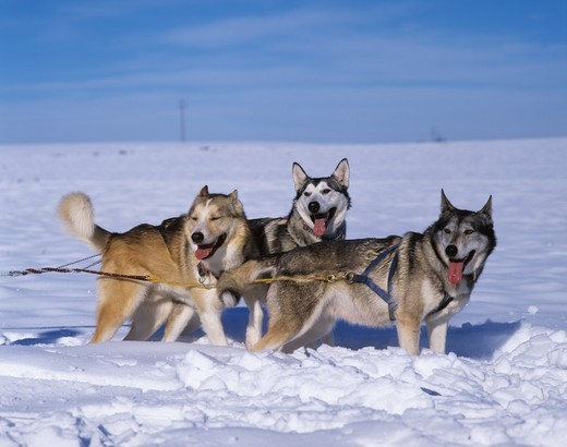 Alaskan Huskies : Stock Photo