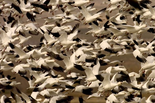 Stock Photo: 4179-3114 Snow Goose  (Chen caerulescens)  In flight, mass rising  Bosque Del Apache NWR New Mexico