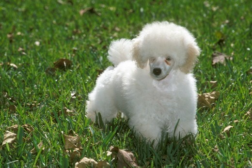 Stock Photo: 4179-31140 Toy Poodle
