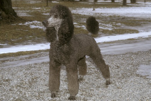 Stock Photo: 4179-31313 Male Standard Poodle Bellhaven, Ontario