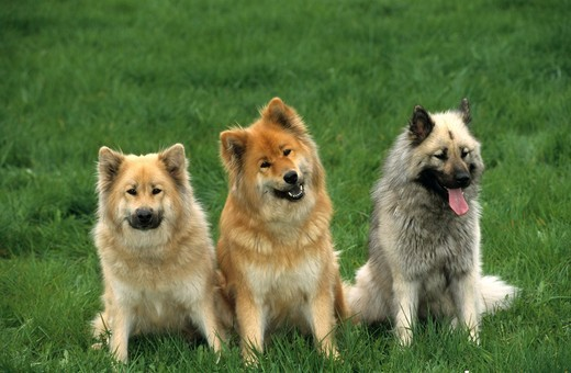Stock Photo: 4179-31639 Dog, Eurasiers, different colors