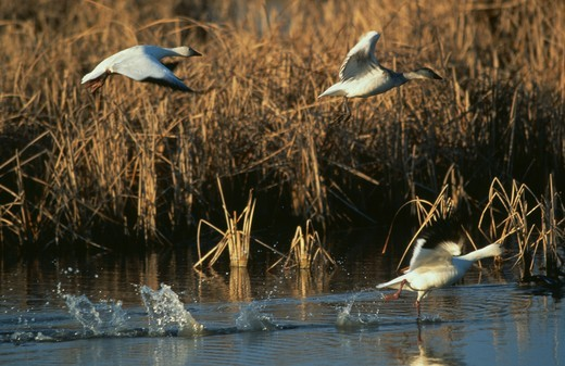 Stock Photo: 4179-3166 Goose, Snow- Group Taking Flight- Wild- Bosque del Apache NWR, N. Mexico Prov. (Chen caerulescens)
