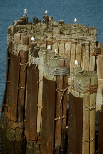 Stock Photo: 4179-3184 Seagulls on pilings at dock for Cape May, NJ-Lewes,DE Ferry