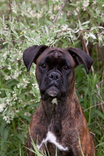 Brindled boxer with natural ears, portrait, by blooming bush; Rockford, Illinois, USA : Stock Photo