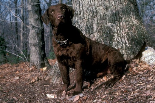 Chesapeake Bay Retriever McLean, VA : Stock Photo