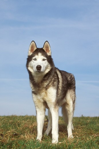 Dog: Siberian Husky : Stock Photo