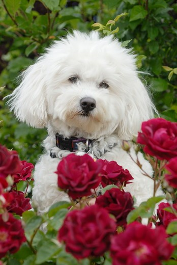 Stock Photo: 4179-32328 Bichon Frise   Released   Digital  Capture
