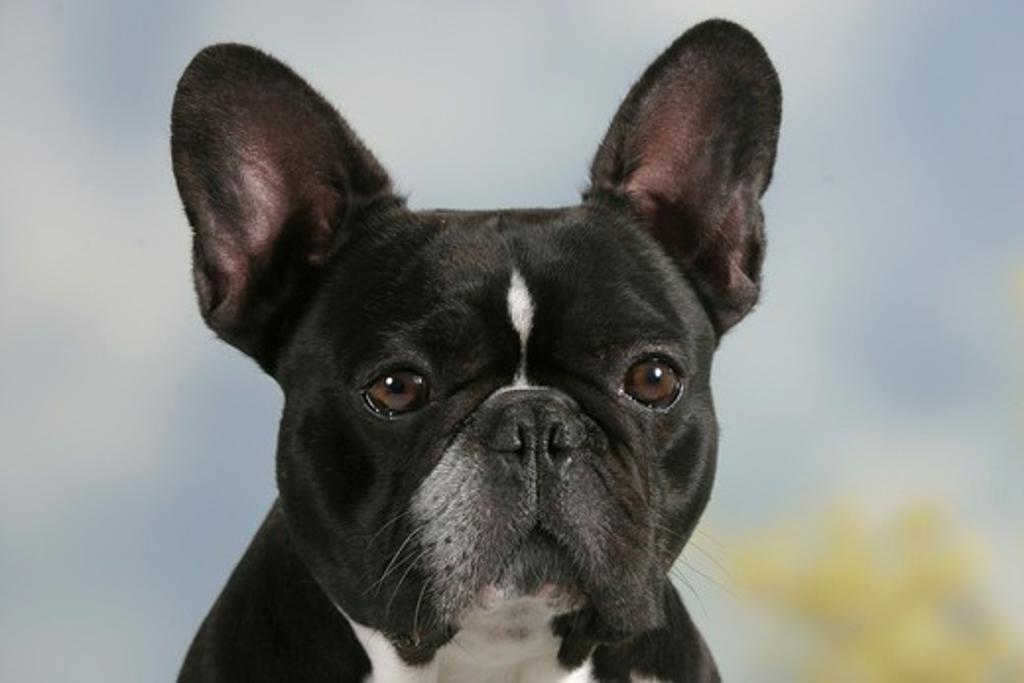 French Bulldog : Stock Photo