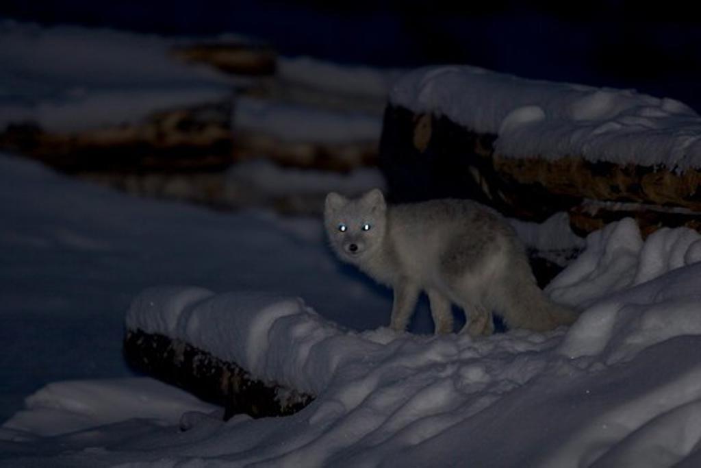Stock Photo: 4179-32546 Arctic Fox (Alopex lagopus) Manitoba, Canada
