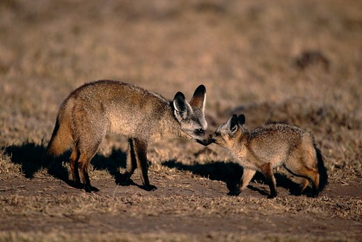 Stock Photo: 4179-32597 Bat-eared Fox cub begging food from adult (Otocyon megalotis) Maasai Mara National Reserve, Kenya