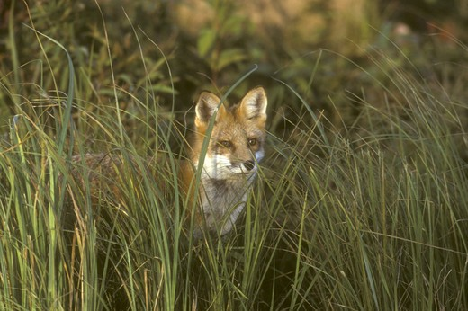 Stock Photo: 4179-32673 Red Fox in tall grass (Vulpes vulpes) Pine County, MN USA  captive