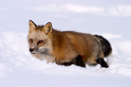Red Fox in deep snow (Vulpes vulpes) captive situation : Stock Photo