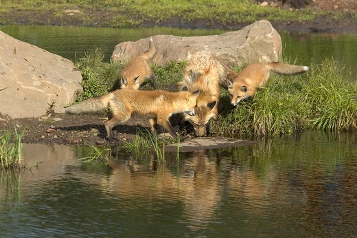 Stock Photo: 4179-32782 Red Fox (Vulpes vulpes) w/pups, captive  Minn.Wildlife Connection