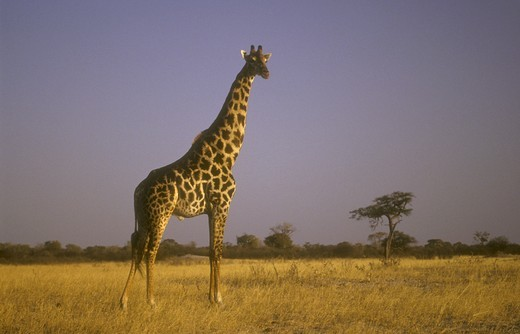 Giraffe (Giraffa camelopardalis) Zimbabwe : Stock Photo