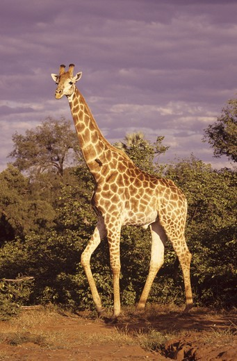 Stock Photo: 4179-32834 Giraffe (Giraffa camelopardalis) South Africa