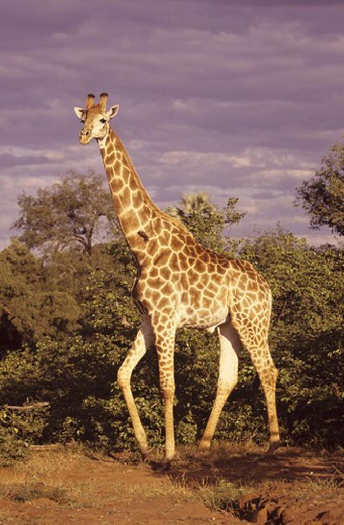 Giraffe (Giraffa camelopardalis) South Africa : Stock Photo