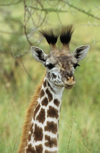 Stock Photo: 4179-32958 Young Masai Giraffe (Giraffa camelopardalis), Serengeti NP, Tanzania