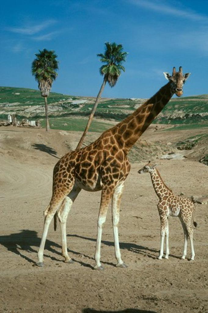 Stock Photo: 4179-32969 Giraffe W/ YOUNG (Giraffa camelopardalis)