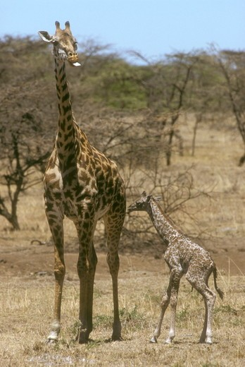 Stock Photo: 4179-32975 Masai Giraffe Mom & Newborn (Giraffa camelopardalis) Kenya