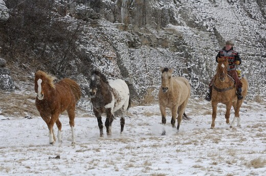 Horse roundup, Montana. winter : Stock Photo