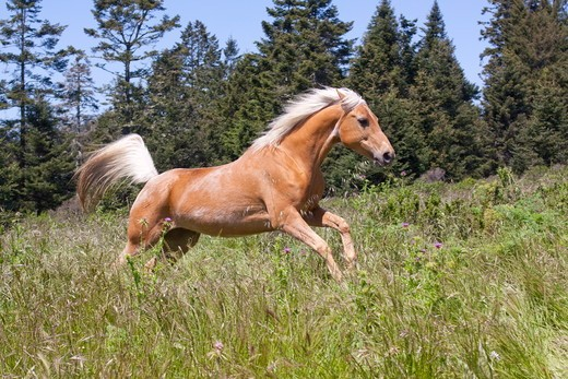 Stock Photo: 4179-33102 Palomino horse running through meadow at forest edge; Fort Bragg, California, USA