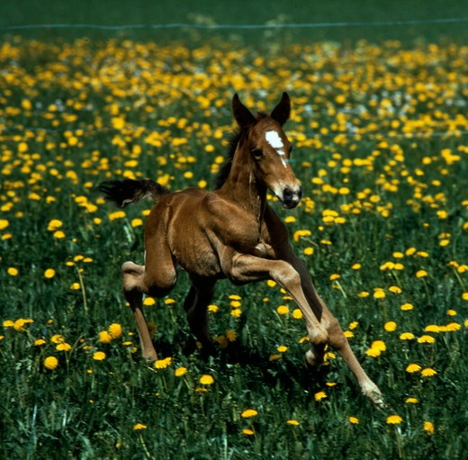 Stock Photo: 4179-33185 French Trotter Foal the first steps