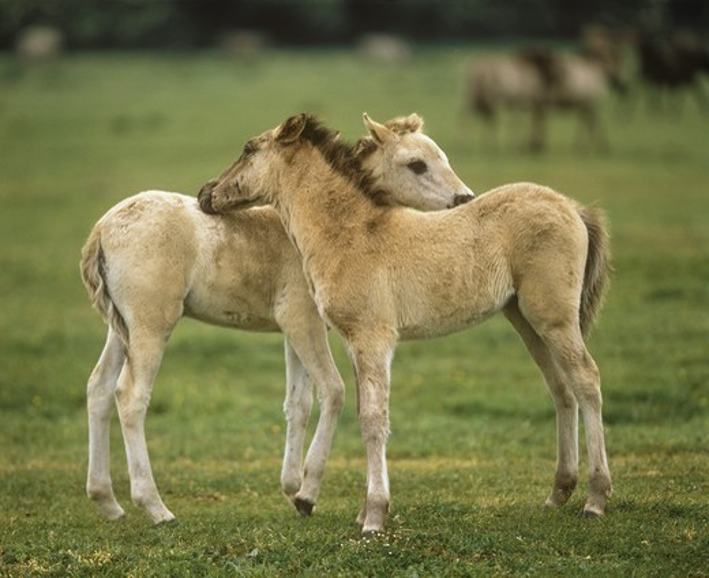 Stock Photo: 4179-33197 Dulmen Wild Horse Foals Preening Germany
