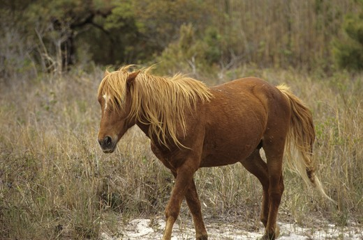 Stock Photo: 4179-33467 Wild Ponies, Chincoteague NWR, VA, Virginia