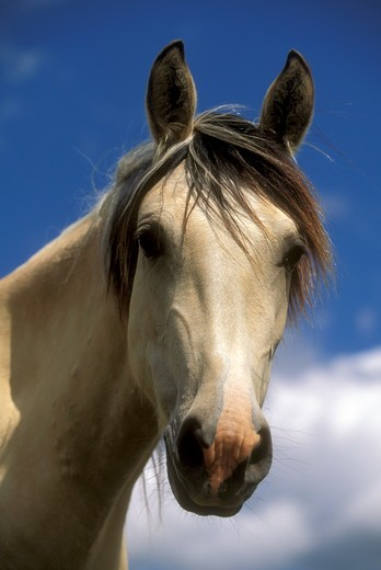 Stock Photo: 4179-33488 Spanish Mustang, Young Mare in Summer Meadow near Oshoto, Wyoming (PR)