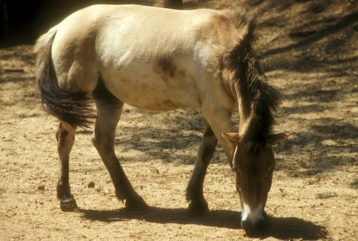 Mongolian Wild Horse (Equus przewalskii) Colombo Zoo, Sri Lanka : Stock Photo
