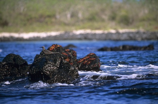 Stock Photo: 4179-3360 Lava Gull on Lava Rock with Sally Lightfoot Crabs, Galapagos