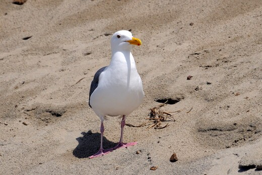 Western Gull (Larus occidentalis) Cape Kiwanda State Park, Oregon : Stock Photo