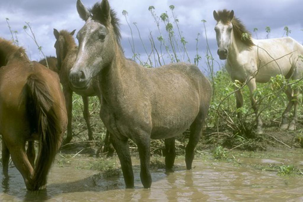 Marajoara Horses on seasonally flooded Savanna, Para, Brazil : Stock Photo