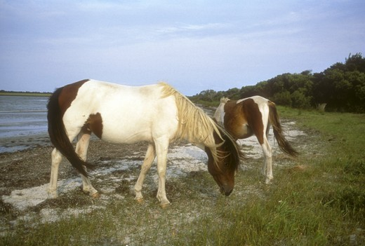 Stock Photo: 4179-33885 Chincoteague Ponies grazing on beach  Assateague Island. National Seashore