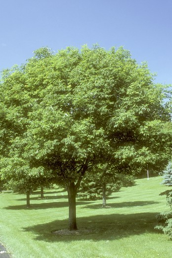 Stock Photo: 4179-34017 White Ash Tree with Shadow (Fraximus americana), used for Baseball Bats, Dayton, OH. Ohio
