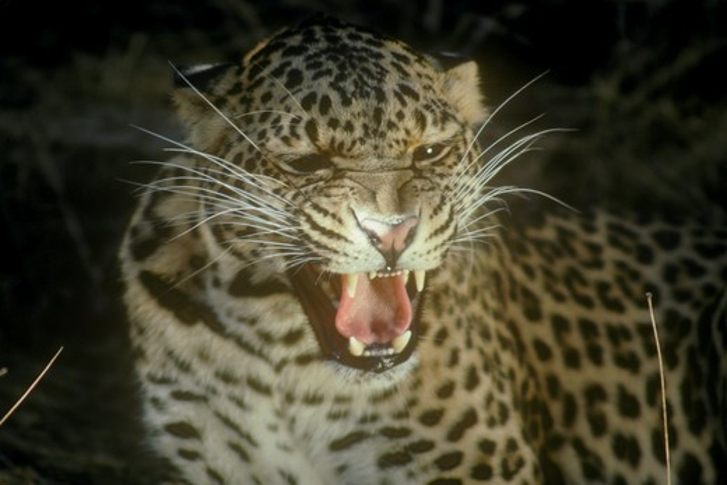North African Leopard (P. p. pardus) Female Salinas, CA : Stock Photo