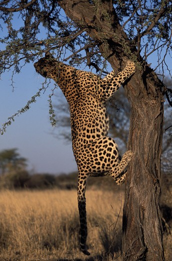 Stock Photo: 4179-34191 Male leopard trying to catch a bird in a tree - Kalahari National Park -  NAMIBIA