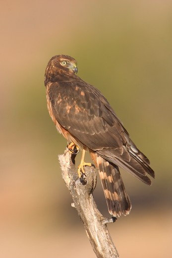 Stock Photo: 4179-3421 Juvenile Northern Harrier (Circus cyaneus), Riverside County, California
