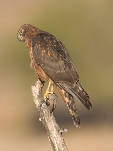 Stock Photo: 4179-3423 Juvenile Northern Harrier (Circus cyaneus), Riverside County, California