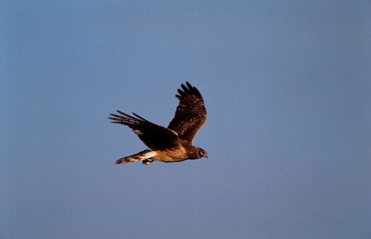 Stock Photo: 4179-3425 Northern Harrier (Circus cyaneus) Female in Flight/IL