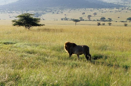 Stock Photo: 4179-34282 Male African Lion in tall Grass (Panthera leo) Masai Mara GR, Kenya