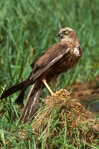 Marsh Harrier (Circus aeruginosus) Poland : Stock Photo